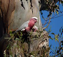 Galah feeding time by Peter Zentjens