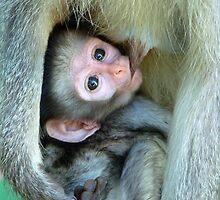 Vervet Monkey by Susan Bergstrom