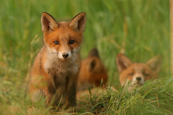 """Red fox puppies"" by Remo Savisaar | Redbubble"