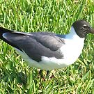 Laughing gull on grass by ♥⊱ B. Randi Bailey