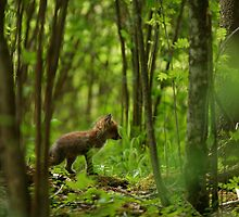 Red fox puppy in forest by Remo Savisaar