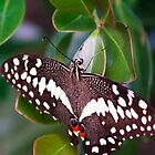 Citrus Swallowtail by Ann  Palframan