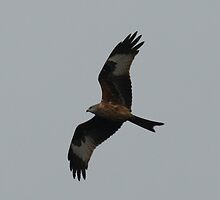 Red Kite by YorkshireMonkey