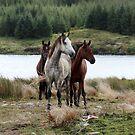 Connemara Ponies in the wild in Connemara, Ireland by ConnemaraPony