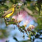 Yellow-bellied Sunbird by SMCK