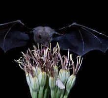 Nectar Bats at Night Feeding and Drinking by E. Mac MacKay