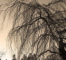 Weeping Willow by Curtis  Sheppard