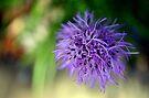 Purple Explosion - Dunrobin Ontario by Debbie Pinard