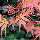 Japanese Maple Encore by Patty (Boyte) Van Hoff