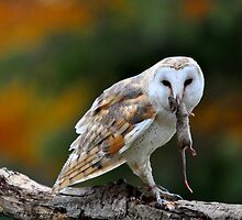 Barn Owl with Dinner by Nancy Barrett