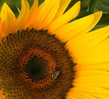 Golden Sunflower by Rosalie Scanlon