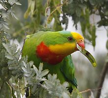 Wattle Be for Dinner? by Phillip Weyers