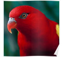 Chattering Lory Poster