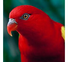 Chattering Lory Photographic Print