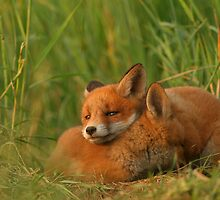 Cute red fox puppies by Remo Savisaar
