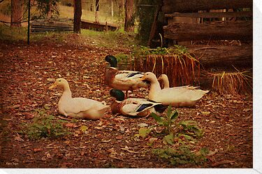 Backyard Ducks by Elaine Teague