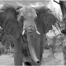 UP CLOSE AND PERSONAL WITH ELEPHANTS - SERIES  3 by Magaret Meintjes