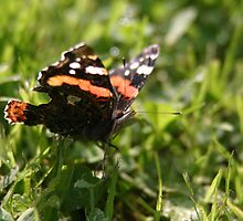 a red admiral by hancoxo