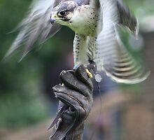 Falconary by Rosemariesw