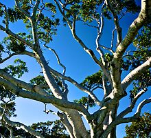 Ancient Moreton Bay Fig Tree by Renee Hubbard Fine Art Photography