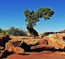 Utah Juniper - Dead Horse Point, Canyonlands National Park by Rebel Kreklow