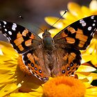Australian Painted Lady by John  Spry