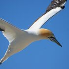 Gannet Flypast by John Dalkin