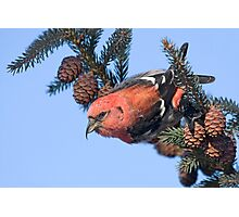 White-winged Crossbill. Photographic Print