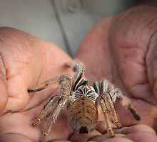 Baboon Spider by Scott Carr