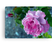 Mottled pink rose and bud Canvas Print