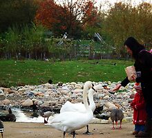 The joy of feeding Swans by buttonpresser