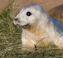 Grey Seal Pup - (Halichoerus grypus) by Robert Taylor