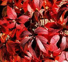 Virginia Creeper by Karen Martin