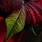 Poinsettia by Ann Garrett