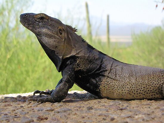 Sonoran Spiny-tailed Iguana ~ Profile by Kimberly Chadwick