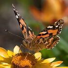 Australian Painted Lady 3 by John  Spry