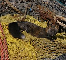 Resting Fox - Dutch Harbor by Melissa Seaback