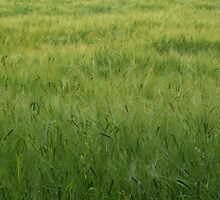 The Wind in the Barley by AntjeBednarek