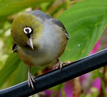 That's Extraordinary! - Silvereye - NZ by AndreaEL