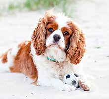 Macca the Cavalier King Charles Spaniel by Charlotte Reeves