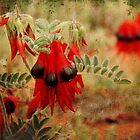 Sturt's Desert Pea - Roxby Downs S.A. by Steph Ball