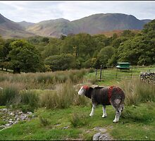 Herdwick sheep, Buttermere by Richard Ion