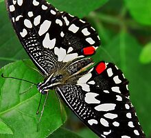 Papilio demoleus - Common Lime Butterfly by PAPILON