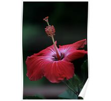 Single Pink Hibiscus Blossom Poster