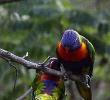 Rainbow Lorikeets by Richard Keech