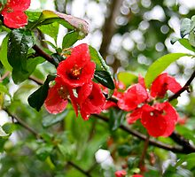 Flowering quince drenched with rainwater by Diane Nemea Laessig