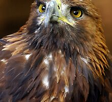 The Stare Of A Golden Eagle - (Aquila chrysaetos)  by Robert Taylor