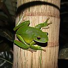 Giant Green Tree Frog 2 by robmac