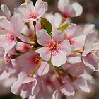 Cherry Blossom by Shane Jones
