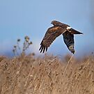 Hunting Harrier by Daniel  Parent